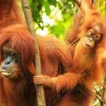 Orangutan Tour